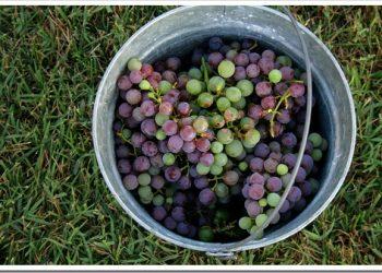 Domestic Means Grape-A-Licious