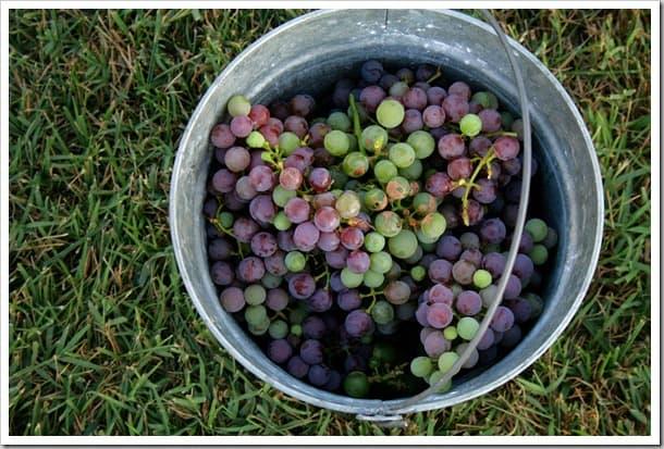 grape-bucket-2