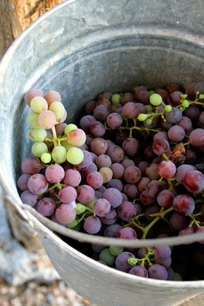 grape-bucket-3