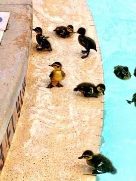 universal-baby-ducks