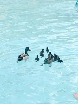 universal-ducks